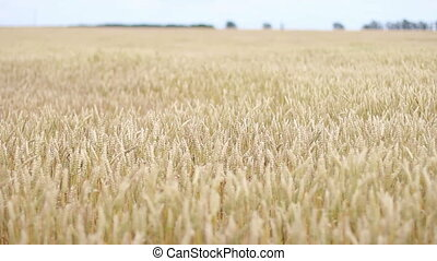 golden wheat field in the wind
