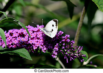 Cabbage white butterfly 2