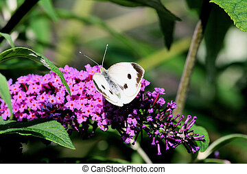 Cabbage white butterfly 3