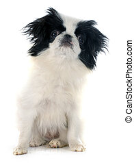 Japanese Chin in front of white background