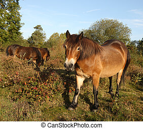 Wild Exmoor Ponies - Wild Exmoor ponies walking through a...
