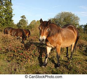 Wild Exmoor Ponies - Wild Exmoor ponies walking through a...