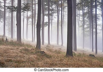 Beech forest - Autumn beech forest with fog in background