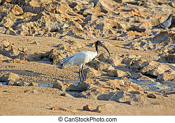 Ibis Threskiornis aethiopicus on a beach