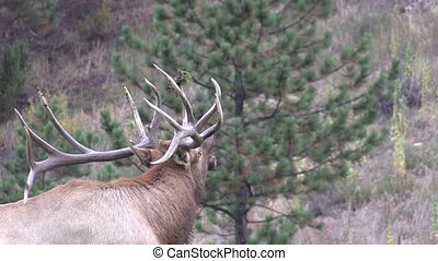 Bull Elk Bugling - a bull elk bugling during the rut