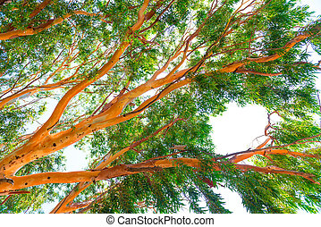 high eucalyptus tree with lush foliage