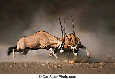 Gemsbok fight - Intense fight between two male Gemsbok on...