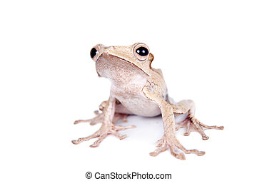 Borneo eared frog on white background - Borneo eared frog,...