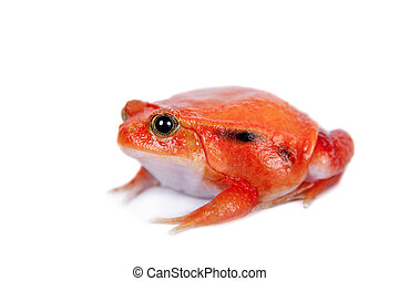 Madagascar tomato Frog isolated on white - Madagascar tomato...