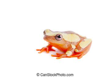 Shreve's Sarayacu treefrog isolated on white - Shreve's...