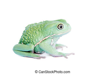 Waxy Monkey Leaf Frog on white background - Waxy Monkey Leaf...