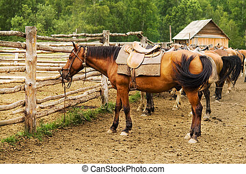 mount tethered horses - mount horses on the farm tethered to...