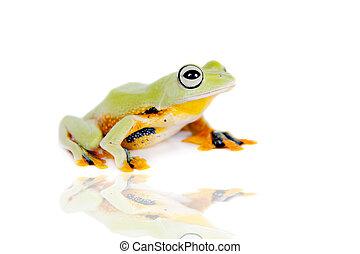 Reinwardts flying tree frog isolated on white - Reinwardts...