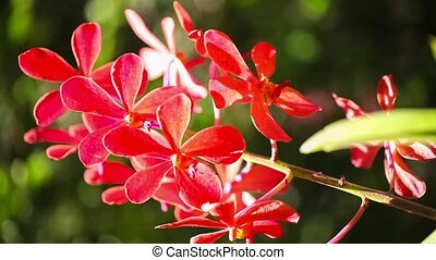 Beautiful red Orchid - Beautiful red Orchid waving in the...