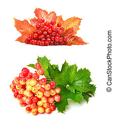Red viburnum berries and autumn leaves isolated on white...