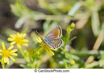 Butterfly polyommatus bellargus of the insecta class, the...