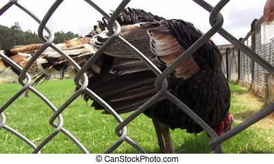 Caged Turkey, Thanksgiving, Poultry, Game Birds