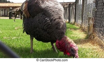 Turkey, Thanksgiving, Poultry, Game Birds, Animals