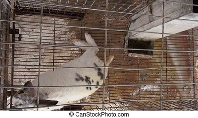 Caged Rabbits, Bunny, Hare