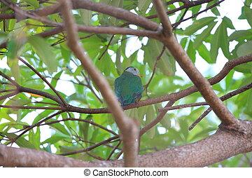 Black-naped Fruit Dove (Ptilinopus melanospilus) in...