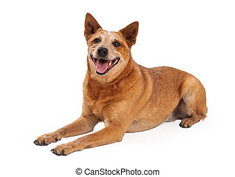 Happy Red Heeler Dog Laying - A friendly Australian Cattle...