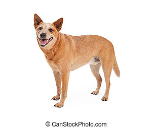 Happy Red Heeler Standing - A friendly Australian Cattle Dog...