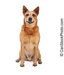 Red Heeler Dog Sitting Looking Forward - A friendly...
