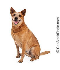 Red Heeler Dog Sitting Side - A friendly Australian Cattle...