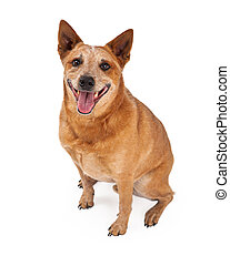 Smiling Red Heeler Dog Sitting - A friendly Australian...