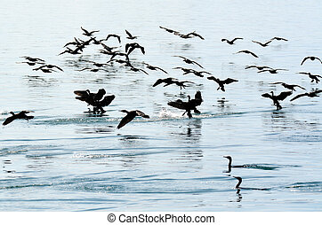 wenig,  Cormorant,  -, Wasser, Schwarz, vögel