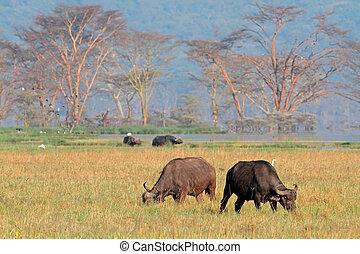 pâturage, africaine, buffles