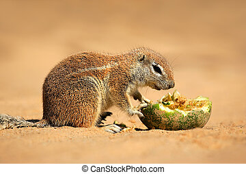 Feeding ground squirrel Xerus inaurus, Kalahari desert,...