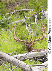 Bull Elk - Closeup of a bull Elk Wapiti, or Cervus...