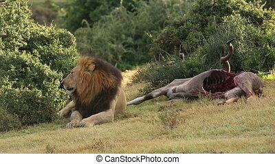 African lion with prey - Big male African lion Panthera leo...
