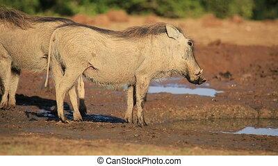Warthog at a waterhole - Two warthogs (Phacochoerus...
