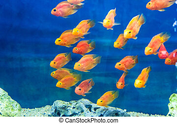 Aquarium parrot fish - Photo of aquarium parrot fish in blue...