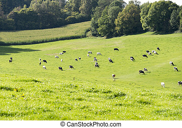 cows grazing on the belgium hills - cows grazing on the...
