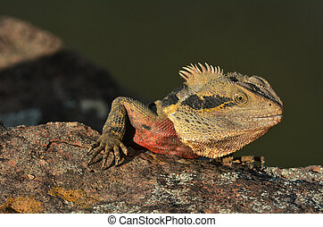 water dragons for sale qld