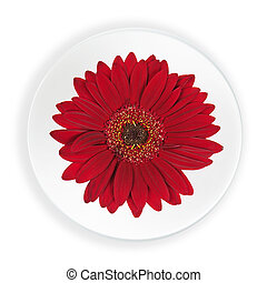 Red Gerbera Flower on Plate Isolated on White Background....