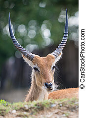 Cobo dellEllisse antilope portrait with huge horns