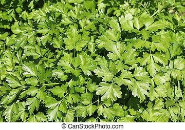 perejil, hojas
