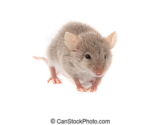 mouse - sweet brown mouse isolated on the white background