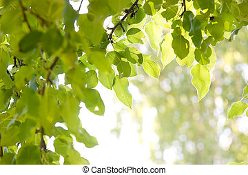 Pear-tree leafs - Sun shining through pear-tree leafs
