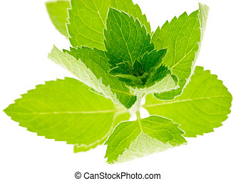 Corn Mint - Fresh Corn Mint twig Mentha arvensis on white...