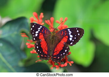 Brown peacock or scarlet peacock (Anartia amathea) in...