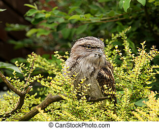 Tawny Frogmouth Owl - Portrait of a Tawny Frogmouth Owl