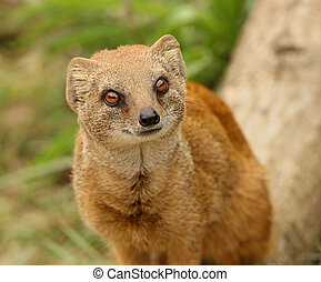Yellow Mongoose - Portrait of a Yellow Mongoose