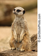 Meerkat - Portrait of a Meerkat
