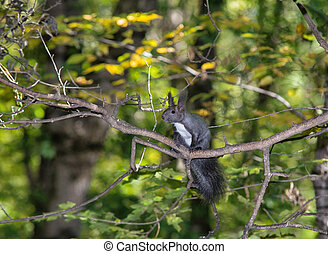 Squirrel on a Tree - A gray squirrel perched in a tree...