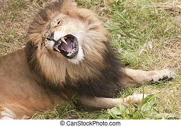 lion roar - African lion roaring